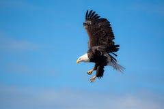 Águila calva en vuelo Fotos de archivo