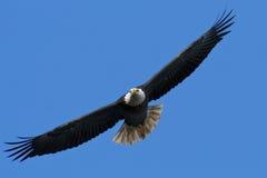 Águila calva en vuelo Foto de archivo libre de regalías