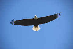Águila calva en vuelo Imagenes de archivo