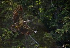 Águila calva en vuelo imagen de archivo