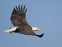 Águila calva en vuelo con los pescados fotografía de archivo