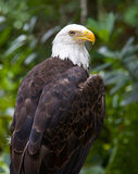 Águila calva encaramada Foto de archivo libre de regalías