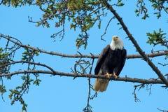 Águila calva encaramada en árbol imagen de archivo libre de regalías