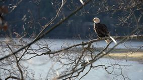 Águila calva encaramada en un árbol 4K UHD almacen de metraje de vídeo