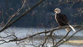 Águila calva encaramada en un enfoque 4K UHD del árbol almacen de metraje de vídeo