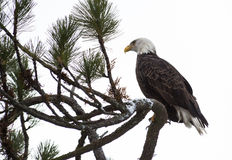 Águila calva encaramada en una ramificación Fotografía de archivo libre de regalías