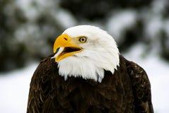 Águila calva enojada (Haliaeetus; leucocephalus) fotos de archivo libres de regalías
