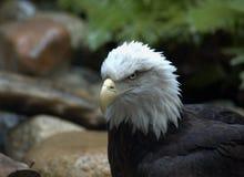 Águila calva II Fotos de archivo