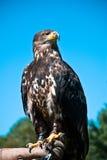 Águila calva joven Fotografía de archivo