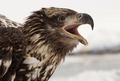 Águila calva joven Imagen de archivo
