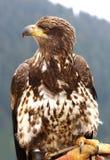 Águila calva joven Foto de archivo libre de regalías