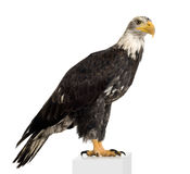 Águila calva joven (5 años) - leucocepha del Haliaeetus Foto de archivo libre de regalías