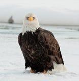 Águila calva joven con la urraca imagen de archivo libre de regalías