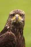 Águila calva joven que le mira Imagen de archivo libre de regalías