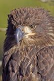 Águila calva juvenil Fotografía de archivo