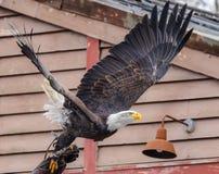 Águila calva, leucocephalus científico del Haliaeetus del nombre, saliendo de la mano del halconero protegido con un cuero grue fotos de archivo