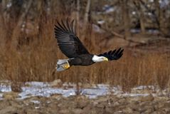 Águila calva (leucocephalus del Haliaeetus) imágenes de archivo libres de regalías