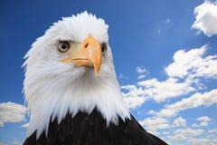 Águila calva (leucocephalus del Haliaeetus) Imagen de archivo libre de regalías