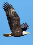 Águila calva - leucocephalus del Haliaeetus Fotografía de archivo