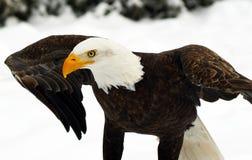 Águila calva (leucocephalus del Haliaeetus) Fotos de archivo