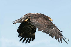 Águila calva no madura en vuelo Imagen de archivo libre de regalías