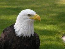 Águila calva que parece derecha Fotos de archivo libres de regalías