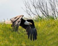 Águila calva que pasa cerca Fotos de archivo libres de regalías