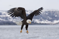 Águila calva que se acerca para aterrizar en el hielo en bahía en el home run, Alask Foto de archivo libre de regalías