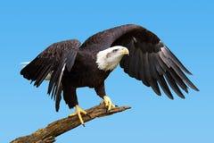 Águila calva que toma vuelo Foto de archivo