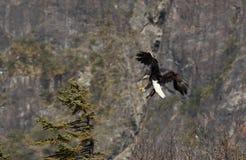 Águila calva que vuela fotos de archivo libres de regalías