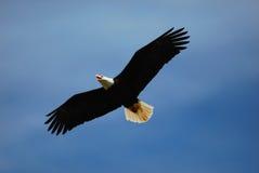 Águila calva que vuela fotografía de archivo libre de regalías
