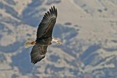 Águila calva que vuela Imagen de archivo libre de regalías