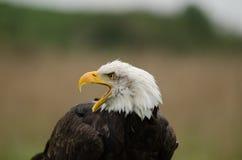 Águila calva ruidosa Fotografía de archivo libre de regalías