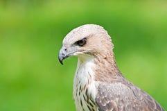 Águila cambiable del halcón (limnaeetus de Nisaetus) Imagenes de archivo
