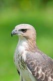 Águila cambiable del halcón (limnaeetus de Nisaetus) Imagen de archivo