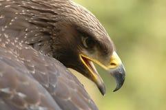 Águila (chrysaetos de Aquila) Fotos de archivo