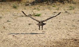 Águila, color rojizo - rey de cielos africanos Imagen de archivo libre de regalías