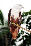 Águila colorida fotos de archivo