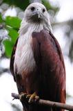 Águila colorida fotografía de archivo