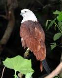 Águila colorida Imágenes de archivo libres de regalías