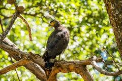 Águila con cresta de la serpiente Fotos de archivo