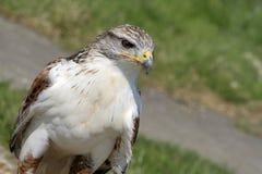 Águila (con el sitio para el texto) Imagen de archivo