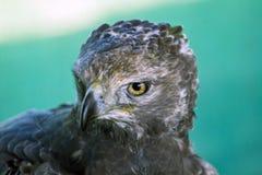 Águila coronada Imagen de archivo