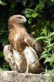 águila Corto-tocada con la punta del pie Imagen de archivo