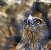 águila Corto-tocada con la punta del pie de la serpiente Fotos de archivo