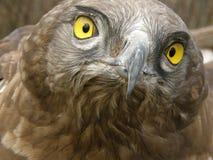 águila Cortocircuito-tocada con la punta del pie Imagen de archivo libre de regalías