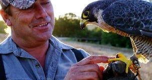 Águila de alimentación del halcón del hombre en su mano almacen de video