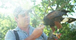 Águila de alimentación del halcón del hombre en su mano almacen de metraje de vídeo