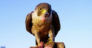 Águila de alimentación del halcón del hombre en su mano metrajes
