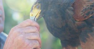 Águila de alimentación del halcón del hombre en un día soleado almacen de metraje de vídeo